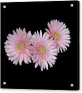 Pink Daisies Acrylic Print