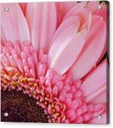 Pink Daisy Close-up Acrylic Print