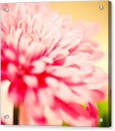 Pink Daisy Subdued Acrylic Print