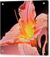 Pink Daylily Acrylic Print
