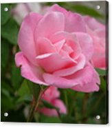 Pink Delicacy  Acrylic Print