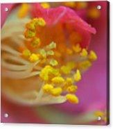 Pink Delight  Acrylic Print