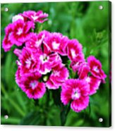 Pink Dianthus Acrylic Print