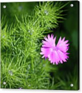 Pink Dianthus With Nigella Buds Acrylic Print