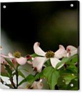 New Orleans Pink Dogwood Equinox Acrylic Print