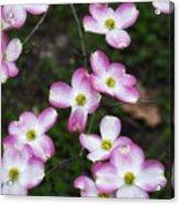 Pink Dogwood Mo Bot Garden Dsc01756 Acrylic Print