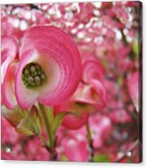 Pink Dogwood Tree Flowers Dogwood Flowers Giclee Art Prints Baslee Troutman Acrylic Print