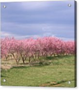 Pink Pear Trees Acrylic Print