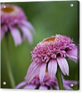 Pink Double Delight Acrylic Print