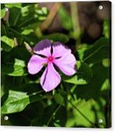 Pink Downy Phlox Wildflower Acrylic Print