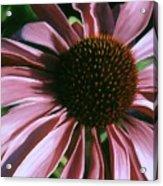 Pink Echinacea Acrylic Print