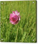 Pink Everlasting Acrylic Print