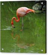 Pink Flamingo Acrylic Print by Cindy Lee Longhini
