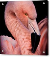 Pink Flamingo Portrait Acrylic Print