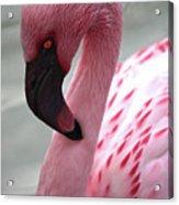 Pink Flamingo Profile Acrylic Print