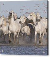 Pink Flamingoes And White Horses Acrylic Print