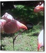 Pink Flamingos Resting Acrylic Print