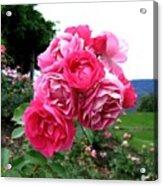 Pink Floribunda Roses Acrylic Print