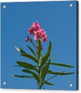 Pink Florida Oleander Blossom Acrylic Print