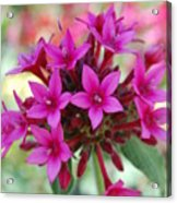 Pink Flower Burst Acrylic Print