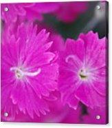 Pink Flower Closeup Acrylic Print