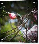 Pink Flower Hummie Acrylic Print