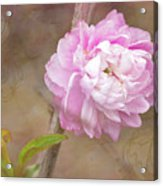Dwarf Flowering Almond Romantic Floral Acrylic Print