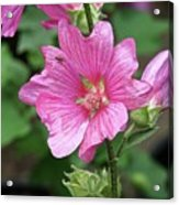 Pink Flower With Bug. Acrylic Print
