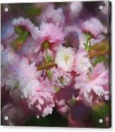 Pink Flowering Almond Acrylic Print