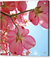 Pink Flowering Dogwood Tree Art Prints Blue Sky Baslee Troutman Acrylic Print