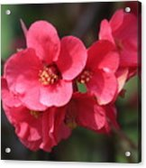 Pink Flowering Quince Acrylic Print