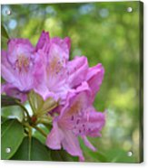 Pink Flowering Rhododendron Bush In Full Bloom Acrylic Print