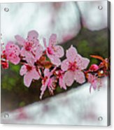 Pink Flowering Tree - Crabapple With Drops Acrylic Print