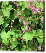 Pink Flowering Vine1 Acrylic Print