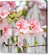 Pink Flowers And A White Picket Fence Acrylic Print