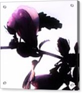 Pink Flowers In Empty Space Acrylic Print
