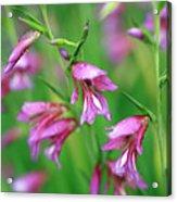 Pink Flowers Of Gladiolus Communis Acrylic Print