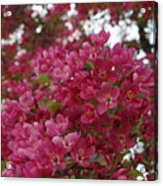 Pink Flowers On Blooming Tree Acrylic Print