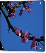 Pink Flowers With A Touch Of Ice Acrylic Print