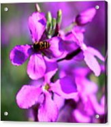 Pink Flowers With Bee . 40d4803 Acrylic Print