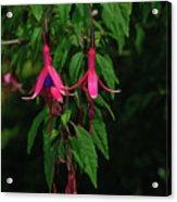 Pink Fushia Acrylic Print