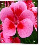 Pink Geranium Blossom Acrylic Print