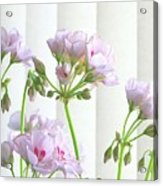 Pink Geranium Acrylic Print