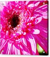 Pink Gerber Acrylic Print