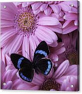 Pink Gerbera Daises And Butterfly Acrylic Print