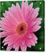 Pink Gerbera Delight Acrylic Print