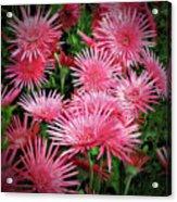 Pink Gerbera Heaven Acrylic Print