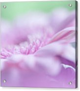 Pink Gerbera Macro 3. Pink Temptation Acrylic Print