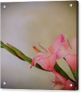 Pink Gladiola Acrylic Print