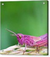 Pink Grasshopper Acrylic Print